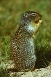 L'écureuil au sol de Richardson Image stock