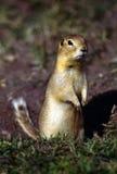 L'écureuil au sol de Richardson Images stock