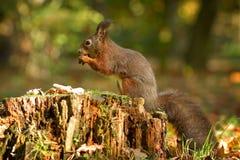 L'écureuil, automne, écrou et sèchent des feuilles Images libres de droits