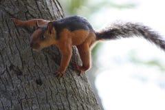 L'écureuil brun-rougeâtre et noir était perché du côté d'un arbre photographie stock