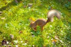 L'écureuil cache l'écrou Photo libre de droits