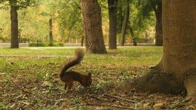 L'écureuil cache la nourriture dans le parc banque de vidéos