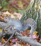 L'écureuil Collecte de la nourriture pendant l'horaire d'hiver Photographie stock