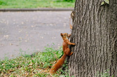 L'écureuil curieux mange la noix sur un arbre Photo libre de droits