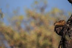 L'écureuil d'arbre considère image libre de droits