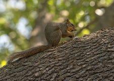 L'écureuil de Fox mangeant un écrou était perché sur une grande branche d'arbre, Dallas Arboretum photo stock