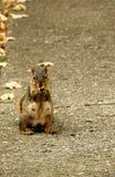 L'écureuil de la femelle s'asseyante de pose Photo libre de droits