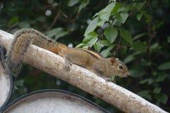 L'écureuil de Lancian Photos stock