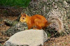 L'écureuil en parc national d'Archa d'aile du nez photos stock