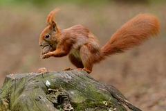 L'écureuil et l'écrou sur le tronçon Photo libre de droits