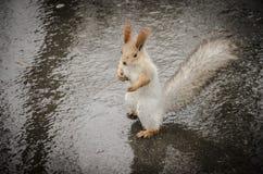 L'écureuil fait bon accueil au temps pluvieux images stock