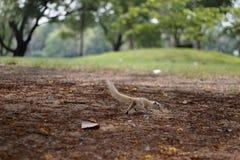 L'écureuil fonctionne Image stock