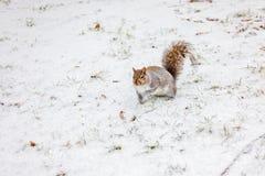 L'écureuil gris canadien sur la neige a rectifié en hiver Photographie stock libre de droits