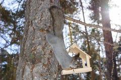 L'écureuil gris s'accroche à un tronc de pin dans les sud Ural de la Russie de parc d'hiver photos libres de droits