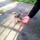 L'écureuil mange des écrous avec des mains Image libre de droits