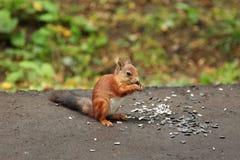 L'écureuil mange des graines de tournesol Photo libre de droits