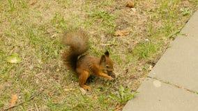 L'écureuil mange les écrous en parc et course loin banque de vidéos