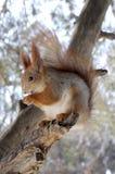 L'écureuil mange une noix Photographie stock libre de droits