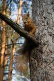 L'écureuil mange une noix Photo libre de droits