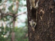 L'écureuil mangent l'écrou Image stock