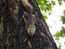 L'écureuil mangent l'écrou Photos stock