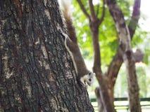 L'écureuil mangent l'écrou Images libres de droits