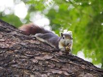 L'écureuil mangent l'écrou Photographie stock