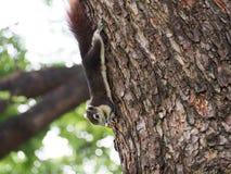 L'écureuil mangent l'écrou Photo stock