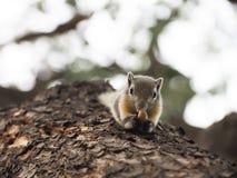 L'écureuil mangent l'écrou Photos libres de droits