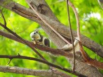 L'écureuil mangent l'écrou Photographie stock libre de droits