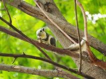 L'écureuil mangent l'écrou Image libre de droits