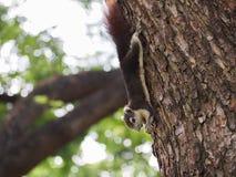 L'écureuil mangent l'écrou Photo libre de droits