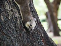 L'écureuil mangent l'écrou Images stock