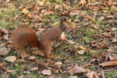 L'écureuil monte l'arbre et l'herbe Photographie stock