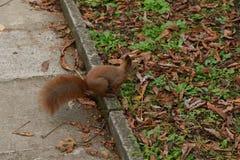 L'écureuil monte l'arbre et l'herbe Photos stock