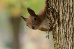 L'écureuil monte l'arbre et l'herbe Image stock