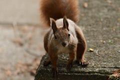 L'écureuil monte l'arbre et l'herbe Photos libres de droits