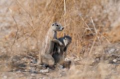 L'écureuil moulu de deux caps sont jeu, nationalpark d'etosha, Namibie Photographie stock
