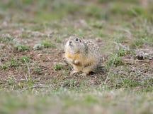 L'écureuil moulu tacheté ou le suslicus repéré de Spermophilus de souslik au sol photos libres de droits