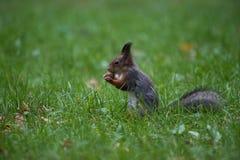 L'écureuil a rattrapé avec le grand NU Photographie stock