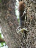 L'écureuil recherchent de la nourriture Photographie stock
