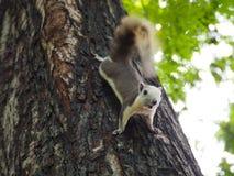 L'écureuil regardent de la nourriture Photo stock