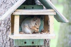 L'écureuil ronge des écrous photographie stock libre de droits