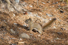 L'écureuil rouge américain (hudsonicus de Tamiasciurus) Images stock