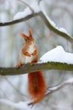L'écureuil rouge mignon dans la scène d'hiver avec la neige a brouillé la forêt à l'arrière-plan image libre de droits