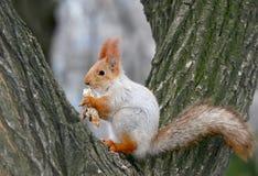 L'écureuil rouge ou le Sciurus eurasien d'écureuil rouge vulgaris mange Image stock