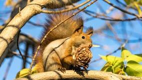 L'écureuil rouge se repose sur l'arbre avec un cône de pin dans la forêt d'automne, Tomsk photo libre de droits