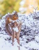 L'écureuil rouge sur la neige a couvert le tronçon d'arbre Photos stock