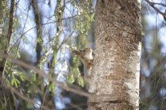 L'écureuil se cache dans la forêt en été photos libres de droits