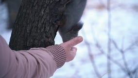 L'écureuil se repose sur un pin et mange d'une main Plan rapproché des animaux de alimentation dans la forêt d'hiver clips vidéos